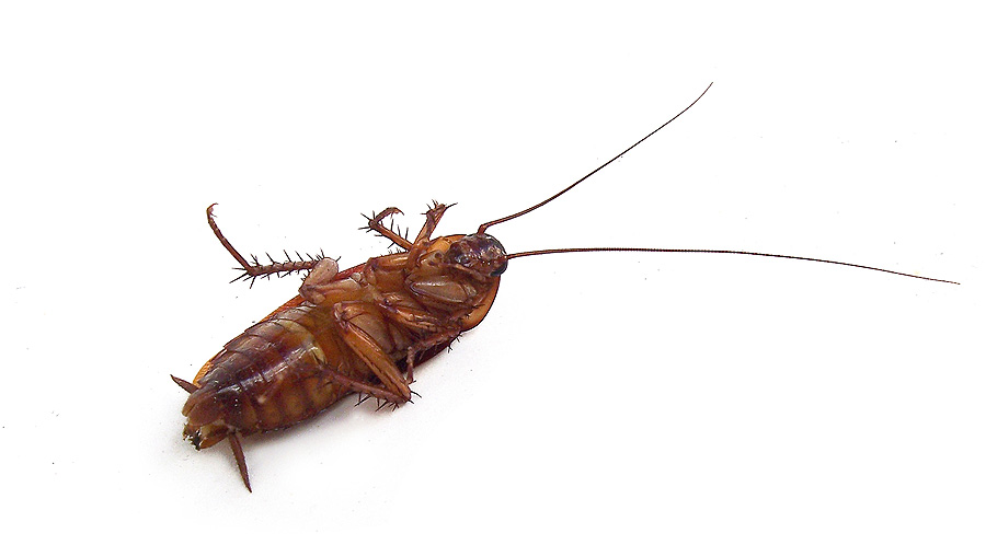 Cockroach Treatments - How we achieve control and get rid of them
