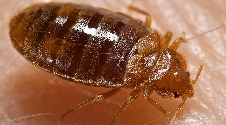 Pest Bed Bug Control